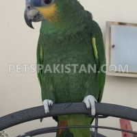 Parrots for sale in Pakistan | Amazon Parrots for sale in