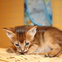 adorable-abyssinian-kittens-searching-loving-home-the-abyssinian-amir-pur-sadat