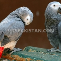 tame-healthy-parrots-african-grey-cokatoos-and-fertile-eggs-for-sale-eclectus-parrots-abbottabad