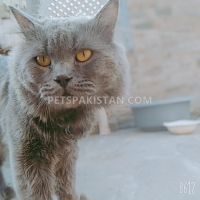gray-stud-male-persian-cats-lahore