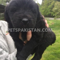 newfoundland-puppies-purebred-other-pano-aqil