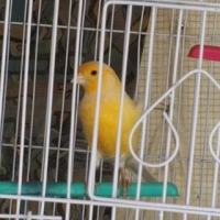 canary-for-sale-golden-pheasant-karachi