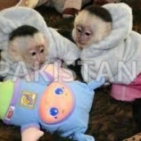 primates-available-for-good-and-caring-families--balambat