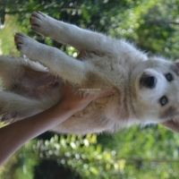 siberian-husky-pedigree-puppies-other-islamabad-4