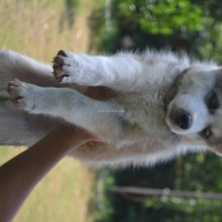 siberian-husky-pedigree-puppies-other-islamabad-2