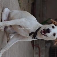 9-month-dog-for-sale-other-karachi