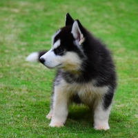 siberian-husky-puppies-other-rawalpindi