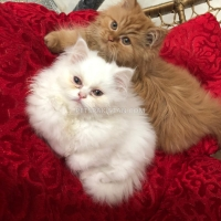 minky-and-chintu-for-sale-persian-cats-gujar-khan