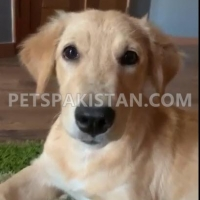 golden-retriever-female-4-months-available-for-sale-golden-retriever-lahore