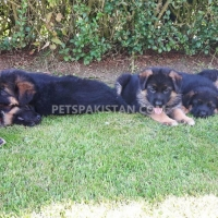 german-shepard-pups-german-shepherd-shorkot-city-i