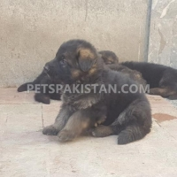 german-shepherd-puppy-for-sale-german-shepherd-lahore