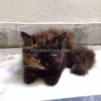 persion-cat-forsale-persian-cats-lahore