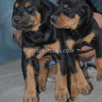 doberman-puppies-doberman-bahawalpur