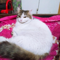 turkish-van-cat-turkish-cat-sargodha
