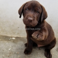 puppies-labrador-retriever-karachi