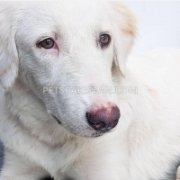dog-up-for-adoption-labrador-retriever-karachi