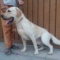 pair-labrador-retriever-pedigree-labrador-retriever-lahore