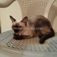 cute-siamese-female-cat-siamese-karachi