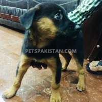 excellent-quality-german-shepherd-dog-2-months-double-coat-male-pup-german-shepherd-lahore