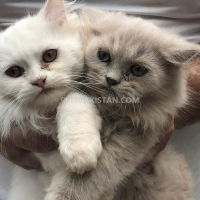 persian-kittens-and-cats-for-sale-pure-breed-persian-cats-islamabad