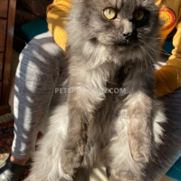 black-steel-grey-persian-cat-double-coat-male-persian-cats-islamabad