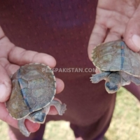 2-red-eared-slider-turtles-for-sale-in-lahore-codfish-lahore