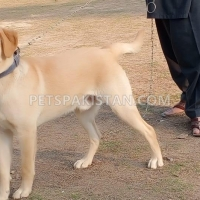 pair-selling-golden-color-labrador-retriever-islamabad