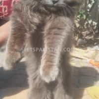 persian-triple-coated-smokey-grey-male-cat-for-sale-persian-cats-multan