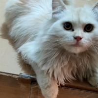 persain-kittens-persian-cats-karachi