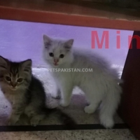 kittens-for-sale-persian-cats-lahore
