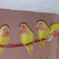 2-pairs-of-love-birds-for-sale-lovebirds-lahore