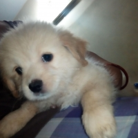 toy-breed-poodle-puppies-for-sale-poodle-karachi