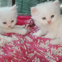 parsian-kitten-triple-coated-persian-cats-lahore