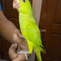 fully-hand-tammed-green-ring-neck-indian-ringneck-karachi