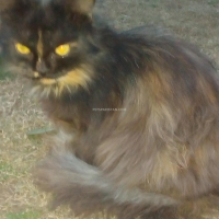 female-persian-punch-face-cat-persian-cats-peshawar-2