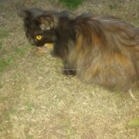 female-persian-punch-face-cat-persian-cats-peshawar-3