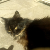 female-persian-punch-face-cat-persian-cats-peshawar-4