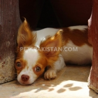 chihuahua-male-puppies-for-sale-other-hyderabad