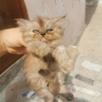 ex-punch-face-persian-cats-lahore