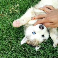 siberian-husky-pedigree-puppies-other-islamabad-5