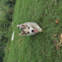 siberian-husky-pedigree-puppies-other-islamabad-6