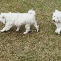 russian-poodle-1-pair-poodle-abbottabad