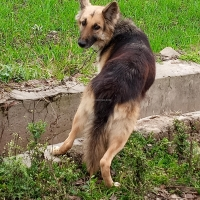gsd-german-shepherd-female-double-couted-for-sell-german-shepherd-gujranwala
