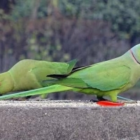 beautiful-indian-ringneck-tame-and-talktive-for-sale-indian-ringneck-phool-nagar