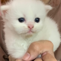 beautiful-kittens-for-sale-persian-cats-lahore