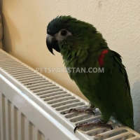 gorgeous-hahns-macaw-parrot-macaws-bhag