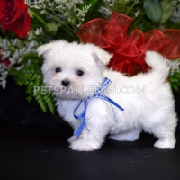 male-and-female-maltese-puppies-maltese-ahmadpur