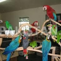 parrots-of-various-species-available-for-good-and-caring-families--hurramzai-sub-teh-manzaki