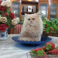 persian-kittens-persian-cats-karachi