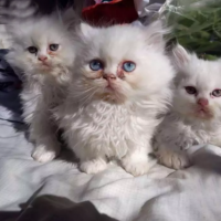 persion-kittens-persian-cats-abbottabad